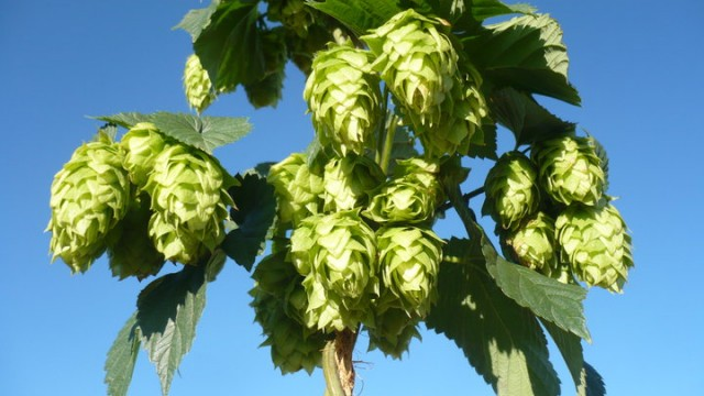 New Hops, Y'all!